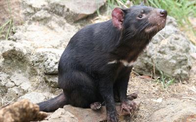 Na Austrália, filhotes de demônios da Tasmânia nasceram na natureza após 3000 anos