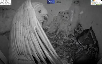 Drama no ninho de corujas