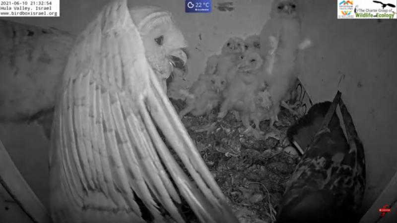 Drama v hnízdě sov pálených