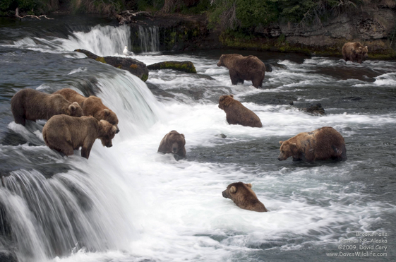 Národní park Katmai, ráj medvědů Grizzly