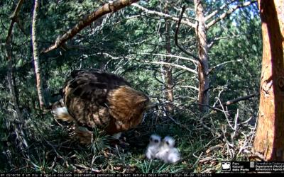 As jovens águias chocaram seus filhotes