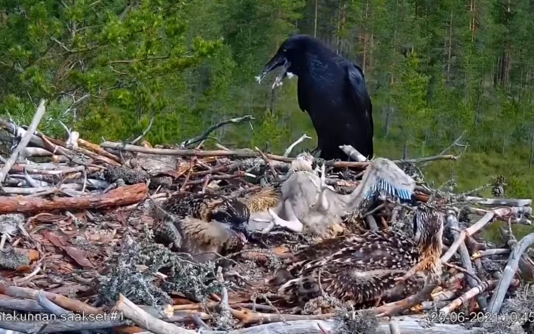Tragédie v hnízdě orlovců říčních ve Finsku