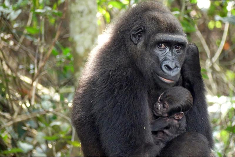 V Gabonu se ve volné přírodě narodilo gorilí mládě rodičům původem ze zoo