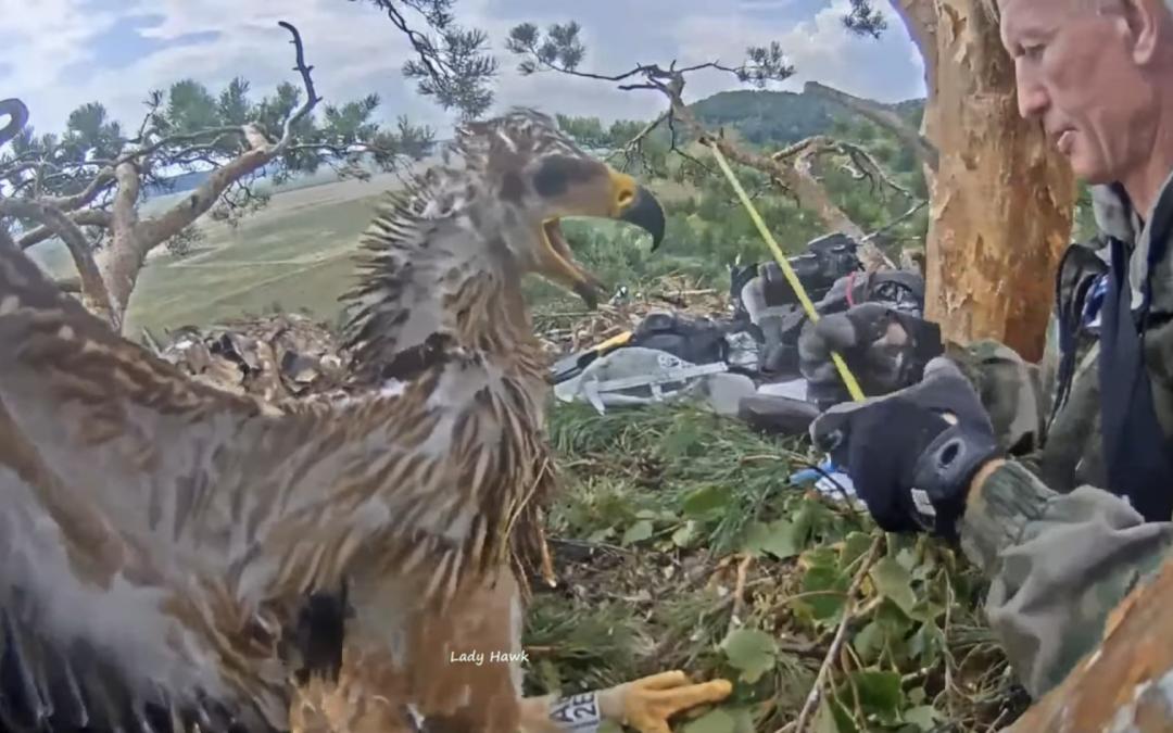 Kroužkování mladých orlů královských v Rusku