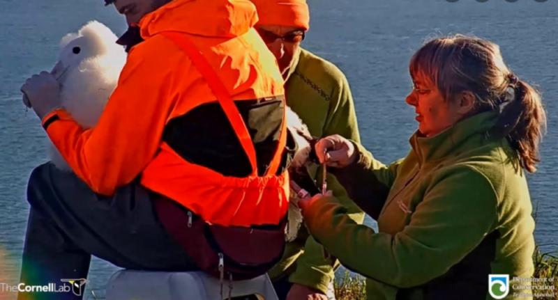Kroužkování mladé samičky albatrosa královského