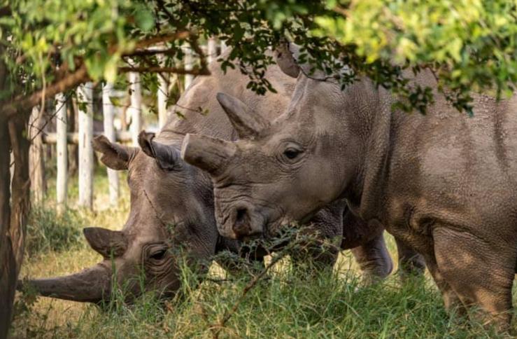Vědci vytvořili další embrya ohrožených nosorožců bílých severních