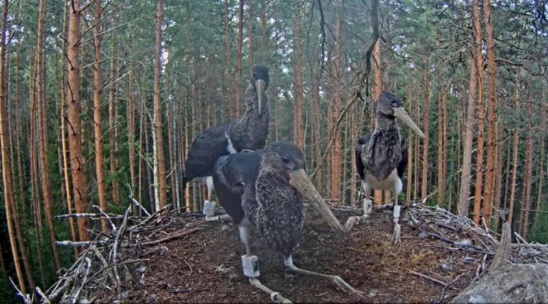 První let mladých čápů černých na hnízdě v Estonsku