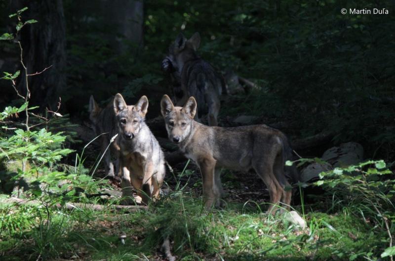 Vlkům v Beskydech se narodila vlčata