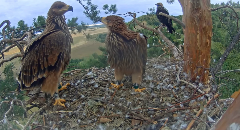 Hnízdění orlů královských v Tatarstánu 2021