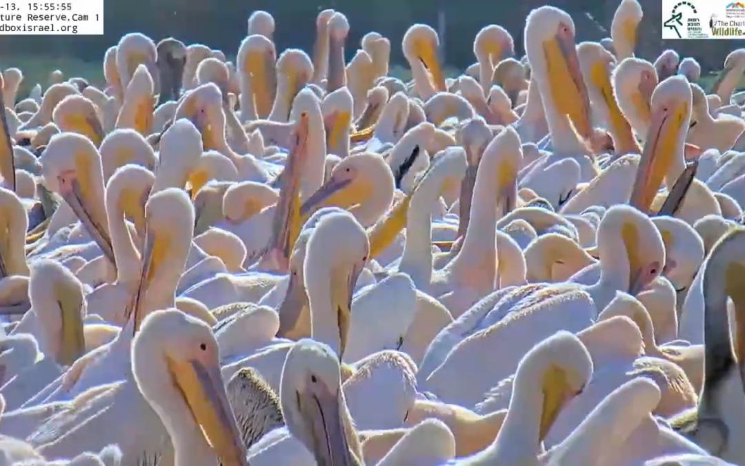 Izraelci krmí tisíce migrujících pelikánů