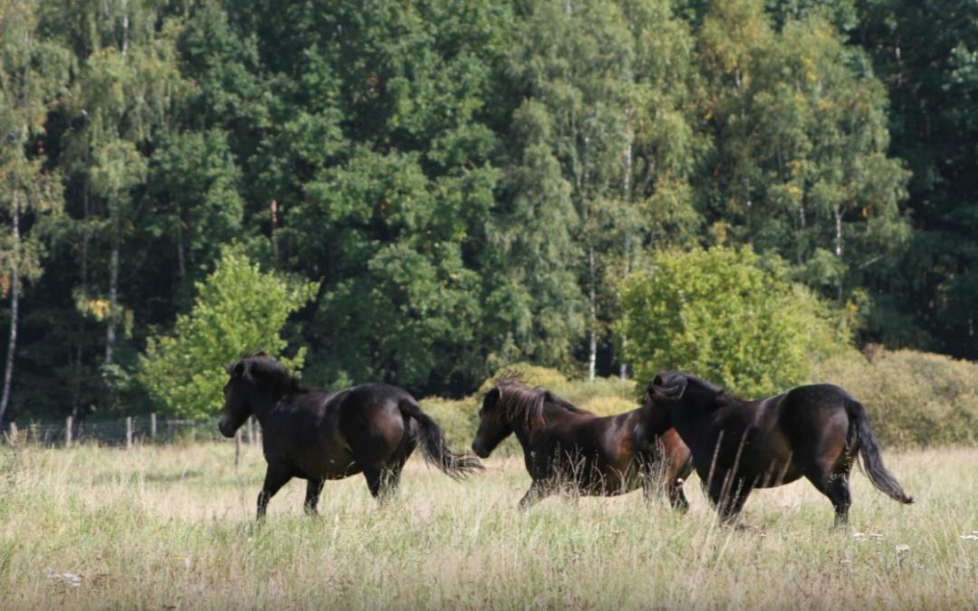 Šest divokých koní obývá novou přírodní rezervaci u Třeboně.