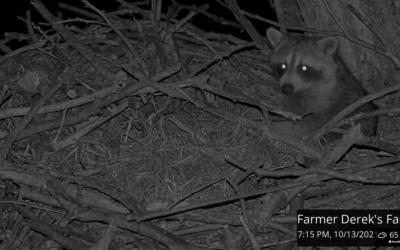 Mývalové na hnízdě orlů bělohlavých v Kansas