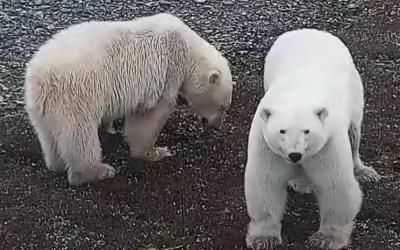 Lední medvědi v Národním parku Wapusk