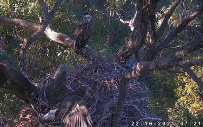 První let mladých orlů bělobřichých
