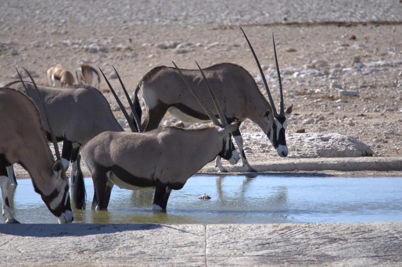 Napajedlo v poušti Namib v Namibii