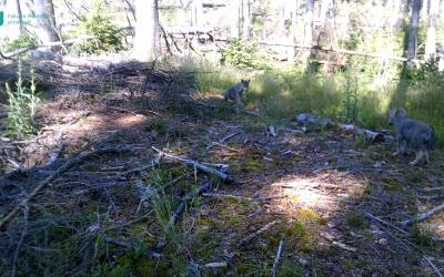 V Národním parku České Švýcarsko se narodila první vlčí mláďata v novodobé historii.