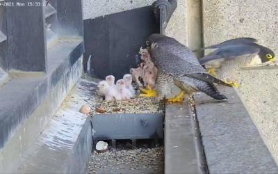 Sokolům stěhovavým v Melbourne se vylíhla čtyři mláďata.